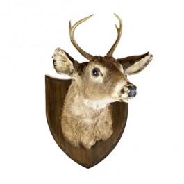 Young Deer W/ 4pt Antlers