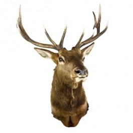 Elk 11pt Antlers-Brown